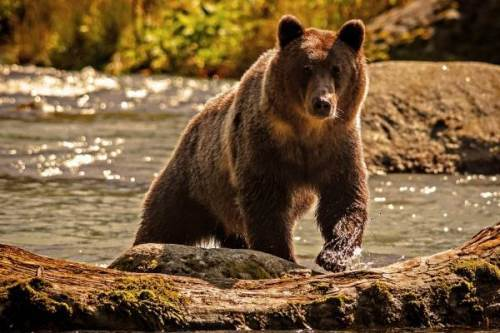 Bear – mighty beast