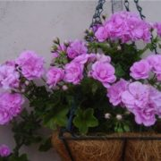 Beautiful geranium