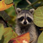 Beautiful raccoon