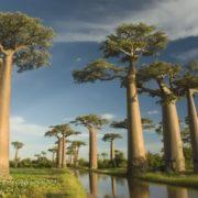 Charming baobabs