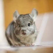 Charming chinchilla