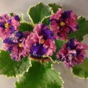Colorful violets