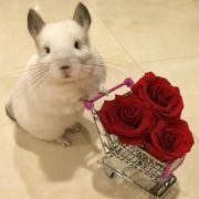 Cute chinchilla Bubu