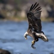 Eagle is fishing