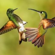 Fight of hummingbirds