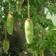 Fruits of baobab