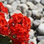 Geranium – popular flower-garden plant