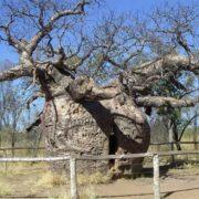 Gorgeous baobab