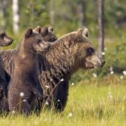 Gorgeous bears