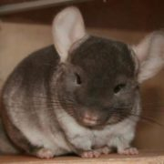 Gorgeous chinchilla