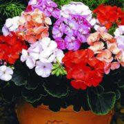 Gorgeous geranium