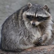 Gorgeous raccoon