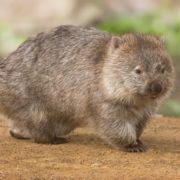 Gorgeous wombat