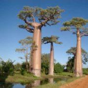 Graceful baobabs