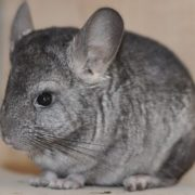 Graceful chinchilla