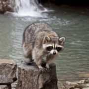 Graceful raccoon