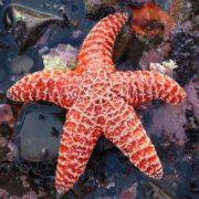 Graceful starfish