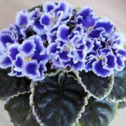 Graceful violets