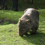 Graceful wombat