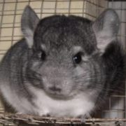 Great chinchilla