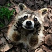 Great raccoon