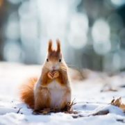 Great squirrel