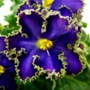 Great violets