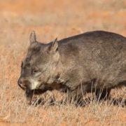 Great wombat