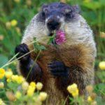Groundhog – interesting rodent