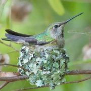 Hummingbird and its nest