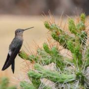 Hummingbird on cacti