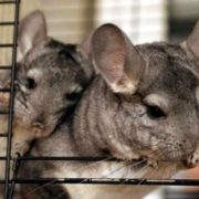 Interesting chinchilla