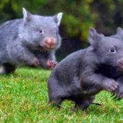Interesting wombats