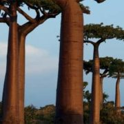 Lovely baobabs