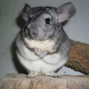 Lovely chinchilla