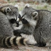 Lovely raccoons