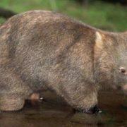 Lovely wombat