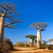 Magnificent baobabs