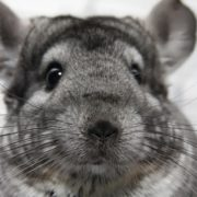 Magnificent chinchilla