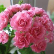 Magnificent geranium