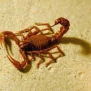 Magnificent scorpion