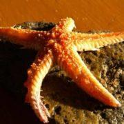 Magnificent starfish