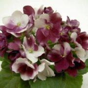 Magnificent violets