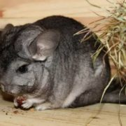 Majestic chinchilla
