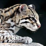 Ocelot – Spotted American Cat