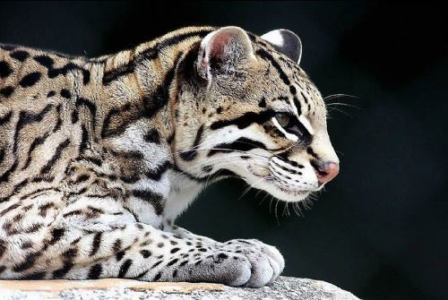 Ocelot - Spotted American Cat