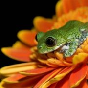 Peacock frog