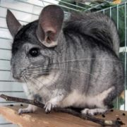 Pretty chinchilla