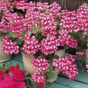 Pretty geranium
