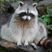 Pretty raccoon